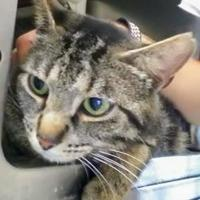 Domestic Shorthair/Domestic Shorthair Mix Cat for adoption in Kokomo, Indiana - Missy Miss