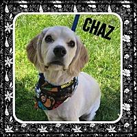 Adopt A Pet :: Chaz - Santa Barbara, CA