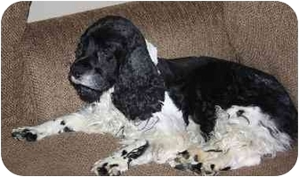 Cocker Spaniel/Springer Spaniel Mix Dog for adoption in Homer, New York - Sparky