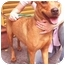 Photo 1 - Rhodesian Ridgeback/Hound (Unknown Type) Mix Dog for adoption in New York, New York - Felicity