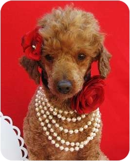 Poodle (Miniature) Dog for adoption in Irvine, California - Little Red-Razzleberry