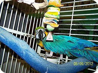 Macaw for adoption in Lexington, Georgia - BJ