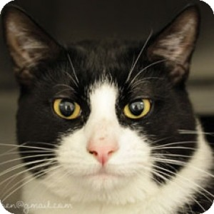 Domestic Shorthair Cat for adoption in Athens, Georgia - Domino