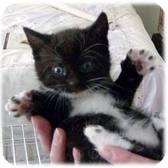 Domestic Shorthair Kitten for adoption in Lancaster, Massachusetts - Alabama