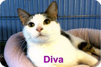 Domestic Shorthair Cat for adoption in Medway, Massachusetts - Diva