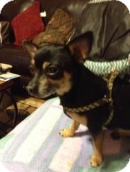 Chihuahua Mix Dog for adoption in Mesa, Arizona - Mojo
