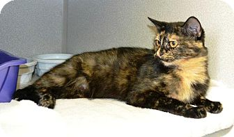 Domestic Shorthair Cat for adoption in Indianola, Iowa - Cassie
