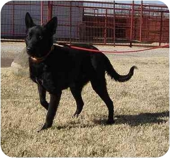 Shepherd (Unknown Type) Mix Dog for adoption in Henrietta, Texas - soontz