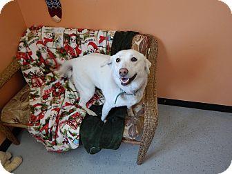 Husky/Labrador Retriever Mix Dog for adoption in Hibbing, Minnesota - Sasha Ann