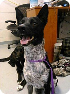 Australian Kelpie/Australian Cattle Dog Mix Dog for adoption in Fort Riley, Kansas - Remington