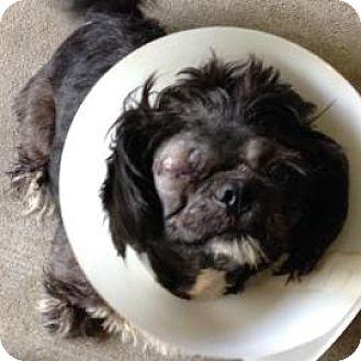 Shih Tzu Dog for adoption in Gainesville, Florida - Boots