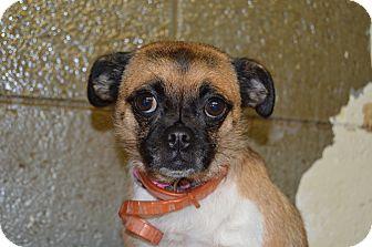 Pug Mix Dog for adoption in Henderson, North Carolina - Precious