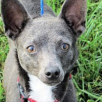 Rat Terrier/Chihuahua Mix Dog for adoption in Columbia, Tennessee - Popeye