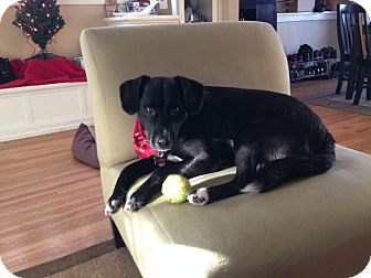 Labrador Retriever/Spaniel (Unknown Type) Mix Dog for adoption in Minneapolis, Minnesota - Max