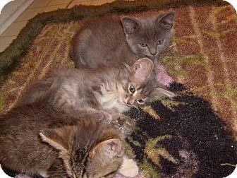 Russian Blue Kitten for adoption in Lenexa, Kansas - Kamilia