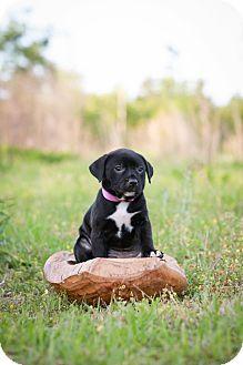 Cattle Dog Mix Puppy for adoption in Middletown, Rhode Island - Porscha