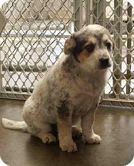 Australian Cattle Dog Mix Puppy for adoption in Greensburg, Pennsylvania - Oreo