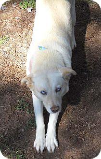 Golden Retriever/Husky Mix Dog for adoption in Decatur, Georgia - Lola