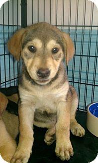 Husky/Labrador Retriever Mix Puppy for adoption in Newburgh, Indiana - Daisy- Fun !