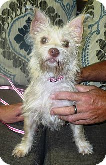 Westie, West Highland White Terrier Mix Dog for adoption in Eastpoint, Florida - Yodi