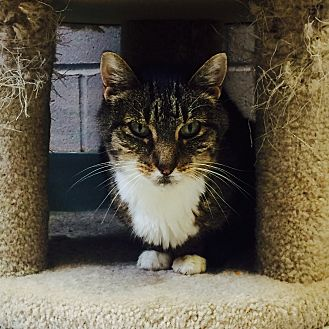 Domestic Shorthair Cat for adoption in Oakland, New Jersey - Baby