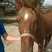 Quarterhorse Mix for adoption in Hitchcock, Texas - Micah