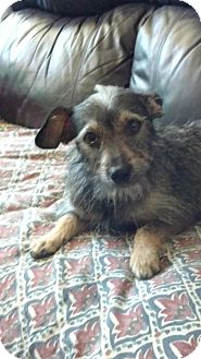 Terrier (Unknown Type, Small) Mix Dog for adoption in San Diego, California - Zoe