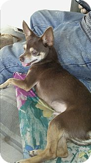 Chihuahua Dog for adoption in San Diego, California - Charlie