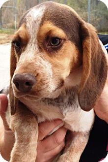 Basset Hound/Beagle Mix Puppy for adoption in Oswego, Illinois - Lucy
