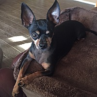 Chihuahua/Miniature Pinscher Mix Dog for adoption in Scottsdale, Arizona - Buddy