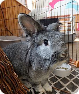 Lionhead Mix for adoption in Foster, Rhode Island - Tommy and Tinsel