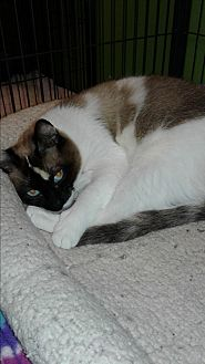 Siamese Cat for adoption in Barnwell, South Carolina - Penny