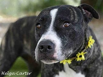 American Pit Bull Terrier Mix Dog for adoption in Albuquerque, New Mexico - STELLA