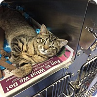 Domestic Shorthair Kitten for adoption in Bridgewater, New Jersey - Cassiel