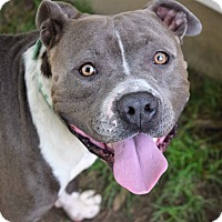 American Staffordshire Terrier Dog for adoption in Brattleboro, Vermont - CASH