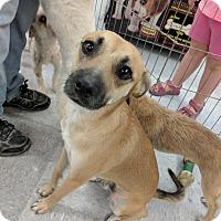 Adopt A Pet :: Marco - Las Vegas, NV