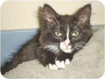 Maine Coon Kitten for adoption in Davis, California - Dasi