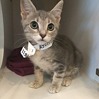 Domestic Shorthair Kitten for adoption in Lakewood, California - Apple Sauce