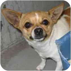 Chihuahua Dog for adoption in Berkeley, California - Mimi
