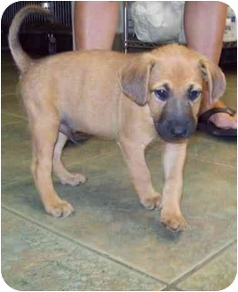 Boxer/Hound (Unknown Type) Mix Puppy for adoption in Old Bridge, New Jersey - Buster