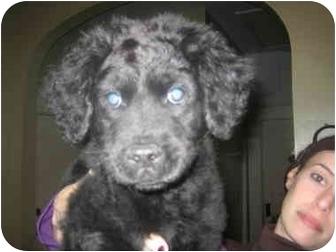 Flat-Coated Retriever/Border Collie Mix Puppy for adoption in Atlanta, Georgia - Dodger