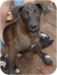 Belgian Malinois/Labrador Retriever Mix Dog for adoption in Gallatin, Tennessee - Buddy