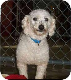 Poodle (Miniature) Mix Dog for adoption in Melbourne, Florida - GORDIE
