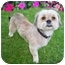 Photo 1 - Lhasa Apso Mix Dog for adoption in Los Angeles, California - BODHI
