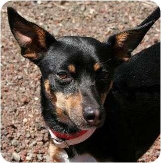 Miniature Pinscher/Terrier (Unknown Type, Medium) Mix Dog for adoption in Phoenix, Oregon - Cosmo