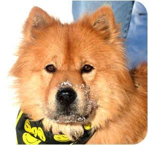 Chow Chow Mix Dog for adoption in Cincinnati, Ohio - Preston