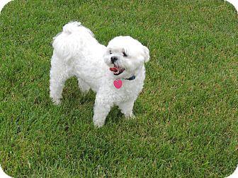 Shih Tzu/Maltese Mix Dog for adoption in Mt Gretna, Pennsylvania - Winston