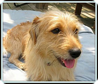 Norfolk Terrier/Cairn Terrier Mix Dog for adoption in Indianapolis, Indiana - Todd