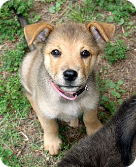 Shepherd (Unknown Type) Mix Puppy for adoption in Salem, New Hampshire - PUPPY GRACE