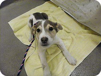 German Shepherd Dog Mix Puppy for adoption in Waldorf, Maryland - Spike